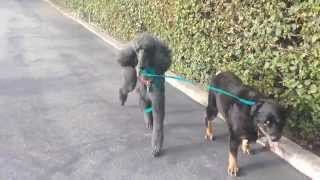 Mesa - Rottweiler (short coat) Dog For Adoption