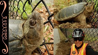 Last week (6/5/17) while riding my bike doing Bike Patrol along the Blackstone River Bikeway in Cumberland Rhode Island I saw a fairly large Snapping Turtles digging a hole and laying eggs. It sure made my day seeing this turtle. If you see a turtle laying eggs please do not move her. Let her finish laying her eggs. If at that time she needs help crossing a road then help her out. There are many YT videos that show you how to properly pick up a turtle and move them.I signed up in January 2017 to be a VIPs ~ Volunteers in Parks for the Blackstone Heritage Corridor. My family spends countless hours along the Blackstone River,, Hiking, Canoeing and Biking.. this is my way of giving back to something that is so important to us.If you are interested in becoming a Volunteer please contact:https://blackstoneheritagecorridor.org/doing/vip-program/********************************************************************Please Subscribe, Like, Comment and Share:You Tube:http://www.youtube.com/user/NaturesFairyMy second Channel: BikingAway:https://www.youtube.com/channel/UCfgDmWTZuHBlJxcyai0HBWQYou can find me on:Facebook Gluten Free Page:https://www.facebook.com/SharingGlutenFreeRecipesMy Blog for all my Gluten Free and some Low Carb Recipes:http://sharingglutenfreerecipes.blogspot.com/Instagram:http://instagram.com/sharingglutenfreerecipes/Pinterest:http://www.pinterest.com/naturesfairy/Twitter:https://twitter.com/NaturesFairyGoggle+:https://plus.google.com/u/0/104572512004936962263Tumblr:http://sharingglutenfreerecipes.tumblr.com/Thanks for watching,Peace ~ Love and JoyAlways be humble ~ Always be kindBrenda ~ NaturesFairy********************************************************************Snapping TurtleCommon Snapping TurtleChelydra serpentinaSnapperSnapping Turtle laying EggsSnapping Turtle Digging HoleSnapping Turtle along Bike PathSnapping Turtle along the Bike WayFemale Snapping TurtleHelping a TurtleHelping Snapping TurtleHelping WildlifeReptilesHerpingHerperRhode Island T