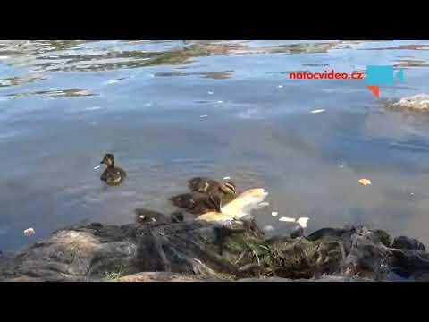 Kachny na Vltavě