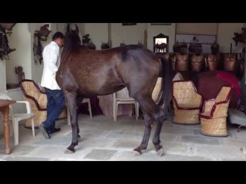 Marwari Horse Training With Dr Singh In Narlai Rajasthan 556 Mb