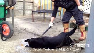 Gangwon-do South Korea  City new picture : Gangwondo - South Korean Dog Meat Industry 강원도 개도살장