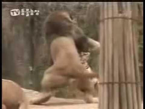 León versus Tigre ¿Cuál es el rey?