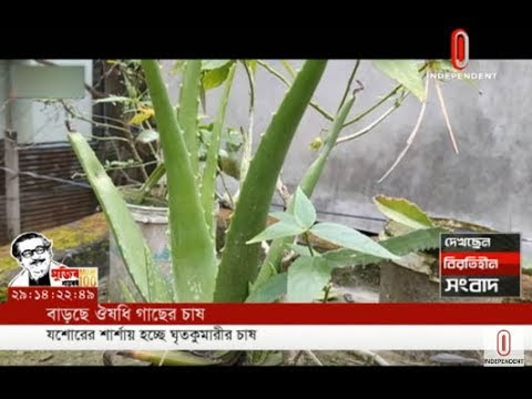 Aloevera grown in Jashore asmedicinal herb cultivation on rise (16-02-20) Courtesy: Independent TV