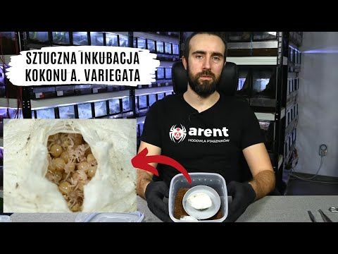 Porzucony kokon Avicularia variegata - opieka i inkubacja | arent.pl