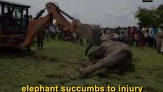 بالفيديو.. بعد صراع 10 أيام.. طلق نارى يكتب النهاية المأساوية لفيل هندى