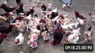 Đàn Gà Đông Tảo 1000 con của trại gà Phúc Thành