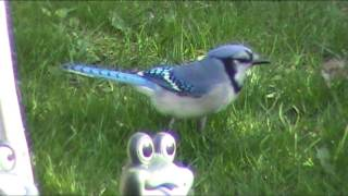 Blue Jay Gulping down food /// Ravens are eating all the bird seed