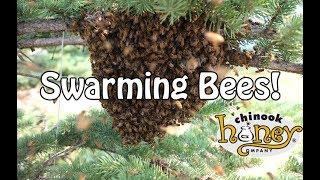 Swarming Bees! (2017)