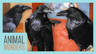 New Ravens! Will They Be Friends? by Animal Wonders