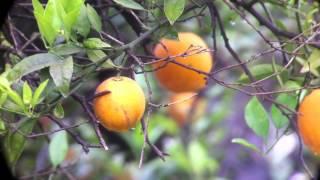 Video IMG_1822 - Masked Shrike - חנקן נובי MP3, 3GP, MP4, WEBM, AVI, FLV Agustus 2018