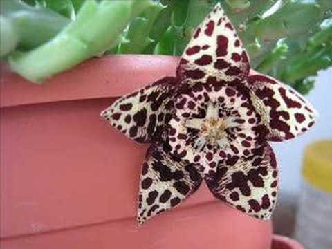 stapelia variegata: uno dei fiori più belli delle piante grasse, ma dall'odore pungente!
