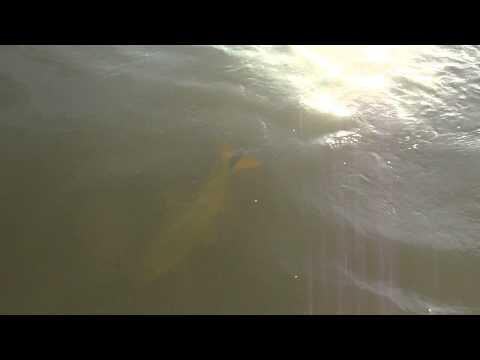 Dourado fêmea capturada pela equipe da Biguá Turismo no Rio Uruguai em Porto Xavier
