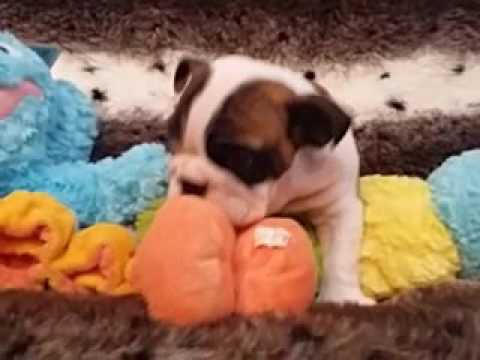 Handsome and Small English Bulldog Male Puppy!