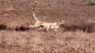 Cheetah Hunting a Lucky Steenbok