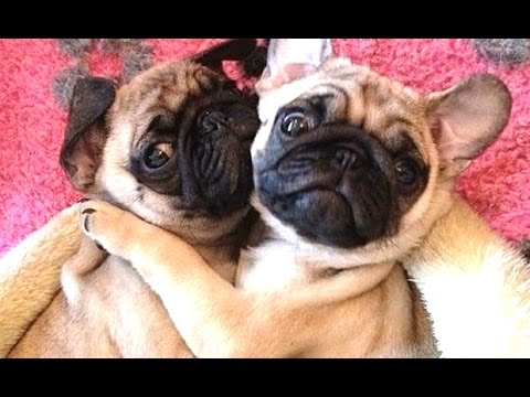the ultimate funny pug compilation!