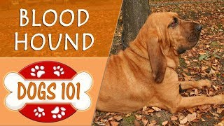 Nonton Dogs 101   Blood Hound   Top Dog Facts About The Blood Hound Film Subtitle Indonesia Streaming Movie Download