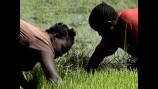 Rice farming revival in Western Kenya