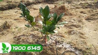 Trồng trọt | Chăm sóc cây bưởi sau khi trồng
