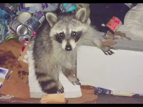 I go outside every night to rescue this raccoon.