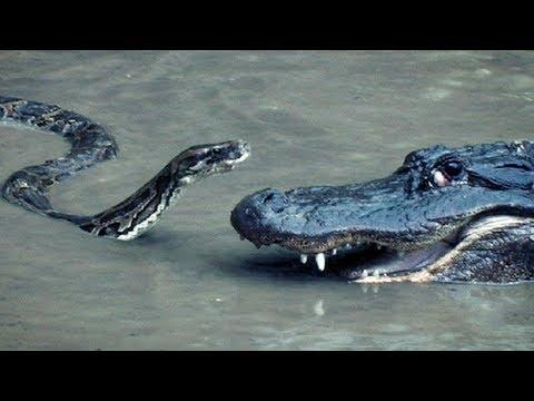 Питон против аллигатора