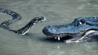 Combat Python vs Alligator