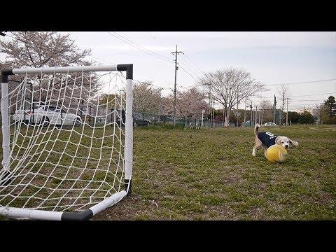A kutya, aki focikapusnak készül