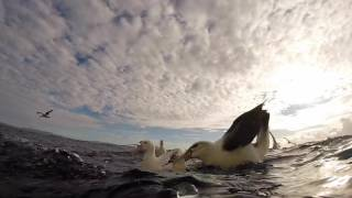 Eaglehawk Neck Australia  city images : Underwater Albatrosses, Eaglehawk Neck Tasmania