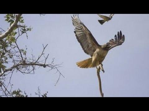 Eagle vs & attacks King Cobra, Snake Fight Videos Compilation 2015
