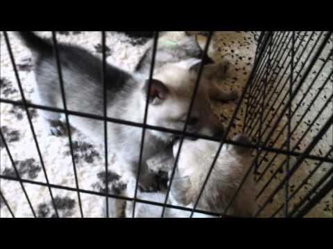 Vendita cuccioli di cane lupo cecoslovacco