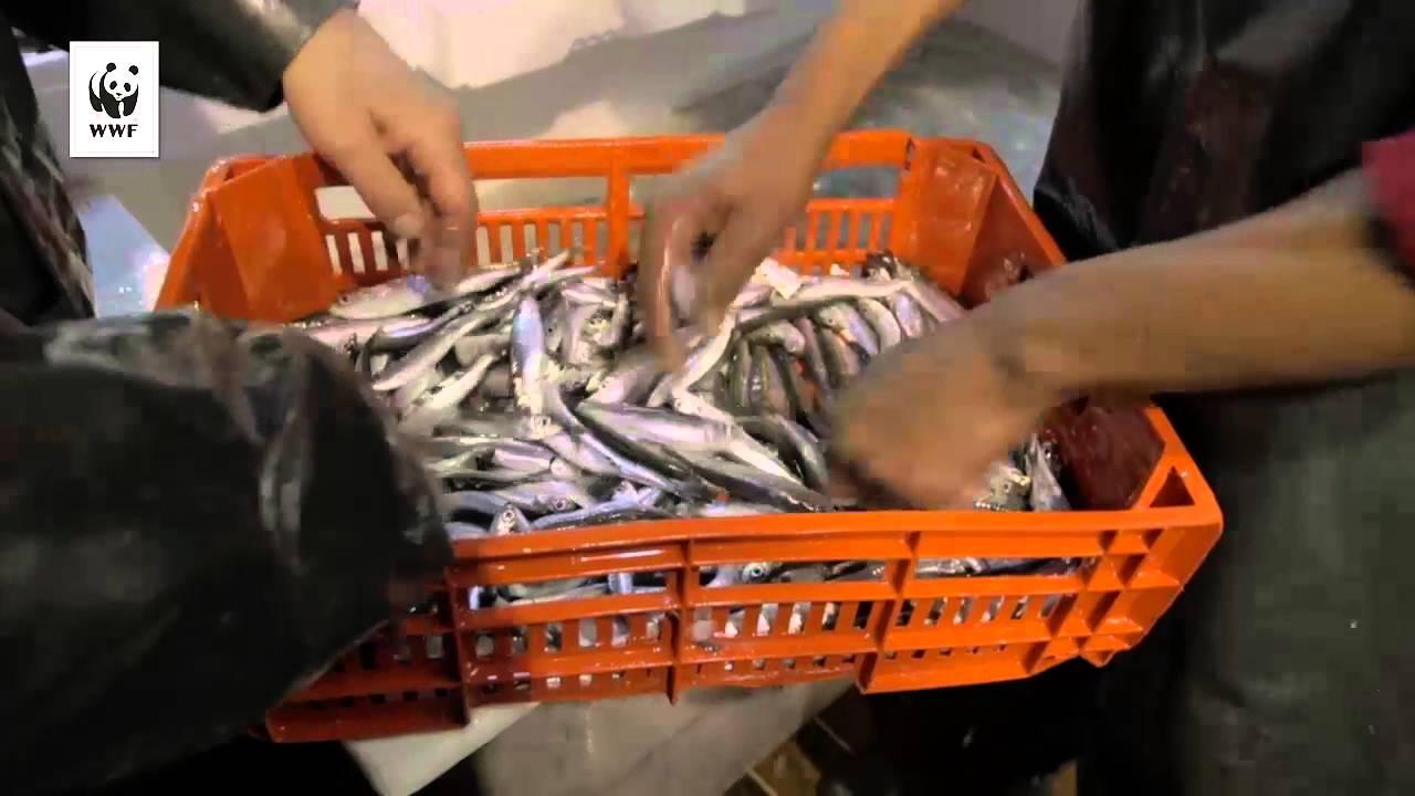 Μια νέα ελπίδα για την αλιεία από την Καβάλα – Πιστοποίηση MSC