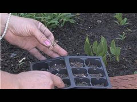 Flower Gardening : How to Grow Carnations From Seeds