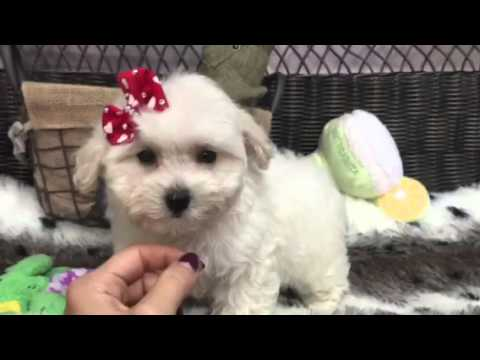 The Cutest & Sweetest Baby Girl Maltipoo!