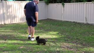 MVI 9939 Pomoodle Pomeranian X Toy Poodle Non Shedding And Training Commenced