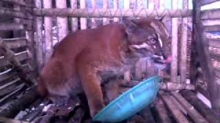 Download Video KUCING HUTAN.mp4 MP3 3GP MP4