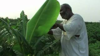 Agricultural production is becoming a central concern for northern Sudan. Thirty-six percent of the country's revenues come from...