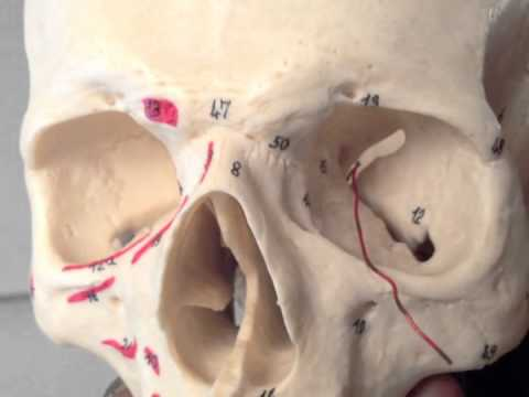 Cranial Nerves (3 of 12): Oculomotor Nerve -- Head and Neck Anatomy 101