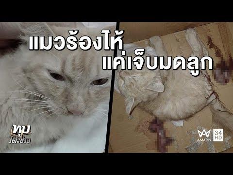 ทุบโต๊ะข่าว : แมวร้องไห้! หมอแจงคลิปสะเทือนใจเหมียวแท้งลูก แค่เจ็บมดลูก 18/10/60