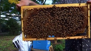 The North Lawn of the United Nations headquarters in New York on June 20 was a hive of activity in more ways than one after three colonies of Italian honeybees made themselves at home as part of the U.N.'s ongoing greening and conservation effort.Subscribe here: https://goo.gl/GHXtS1Follow us on Twitter: @boomlive_inLike us on: facebook.com/boomnews