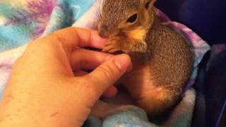 My pet squirrel, Sandy, playing, snuggling, biting, licking, yawning, and being generally cute. - YouTube