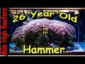 26 Year old Hammer Coral