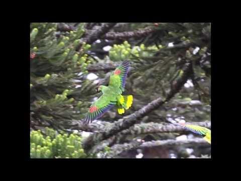 Festival do Papagaio-charão (Amazona pretrei) em Urupema/SC