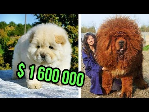 THE Most EXPENSIVE DOG BREEDS In The World