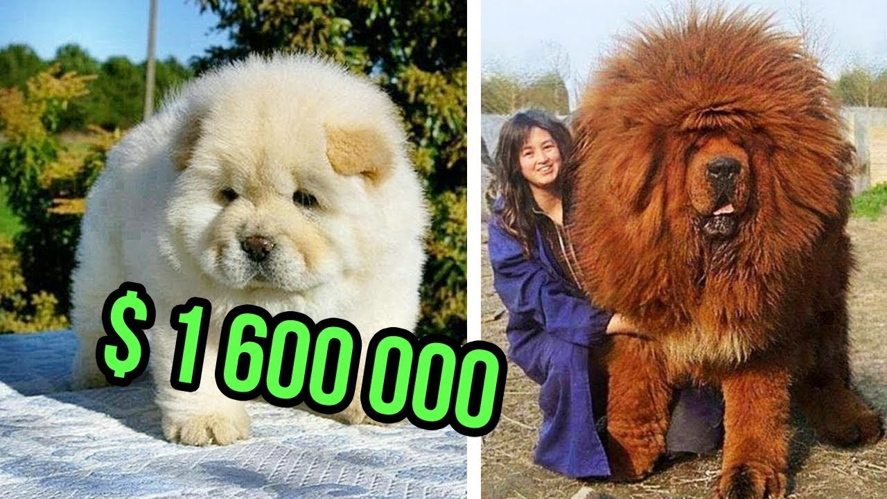 News: THE Most EXPENSIVE DOG BREEDS In The World