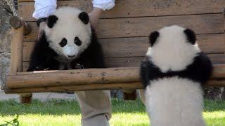 【和歌山】双子パンダ誕生にキュンキュン!