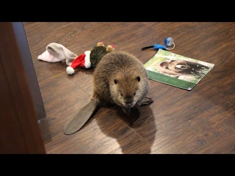 Unusual Pet Named 'Justin Beaver' Makes Dams Out of Household Items