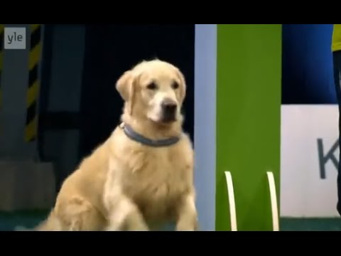 hilarious golden retriever really wants to race but..