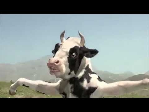 Funny man vs cow fight