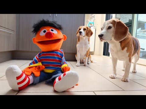 Dogs vs Ernie from Sesame Street : Funny Dogs Louie & Marie