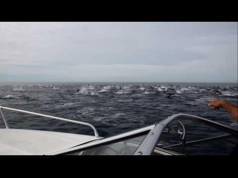 Estampida De Delfines – Impresionante Video