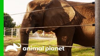 Elderly Elephant Gets Acupuncture Treatment For Arthritis | The Zoo: San Diego by Animal Planet